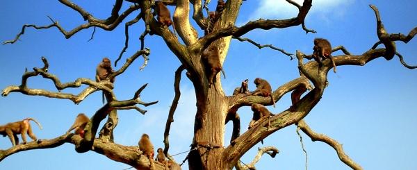 Abe træet