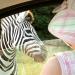 Maya kigger på Zebraer
